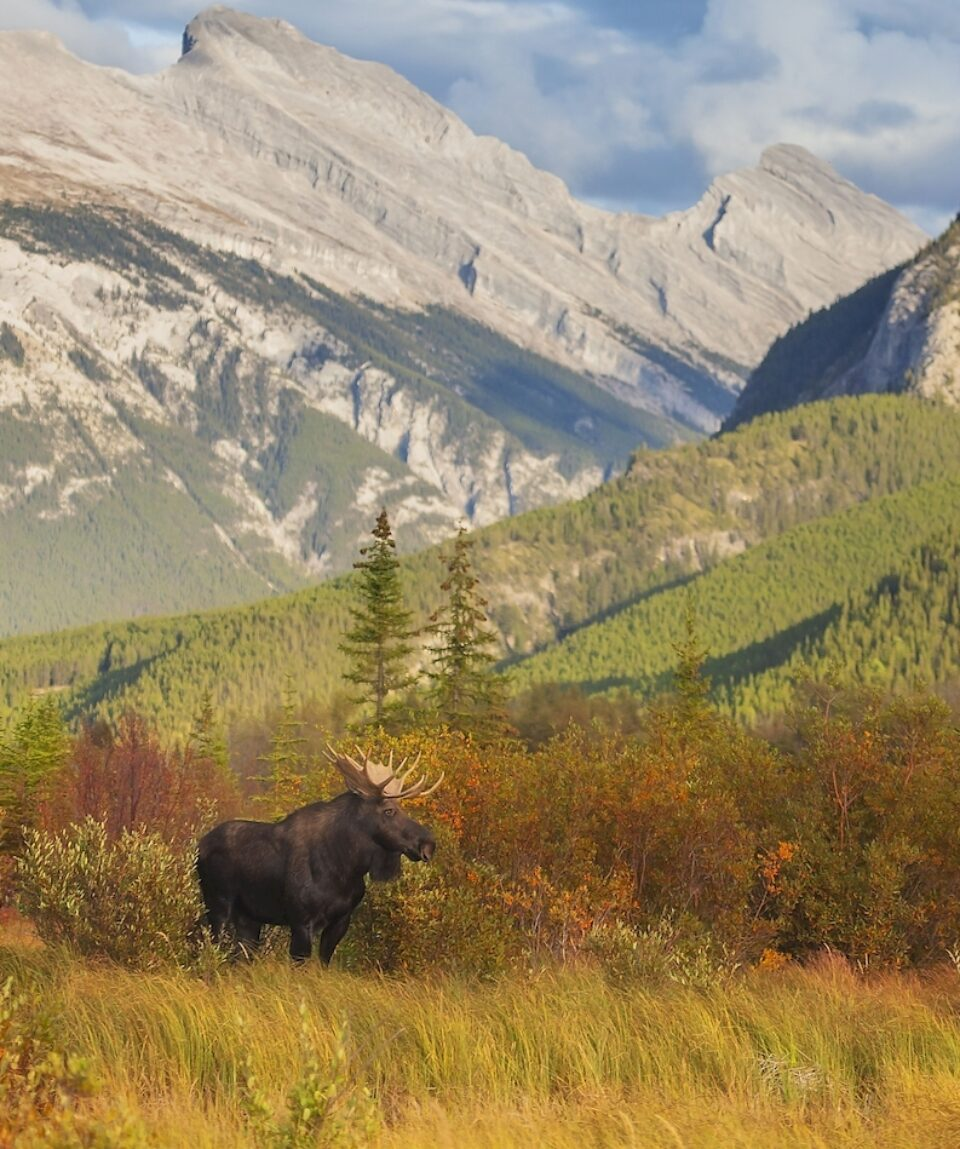 A bull moose wanders through the Vermillion Lakes in Banff National Park