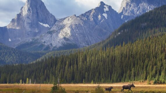 A cow moose leads her calf out of a meadow during an autumn sunrise in Kananaskis Country