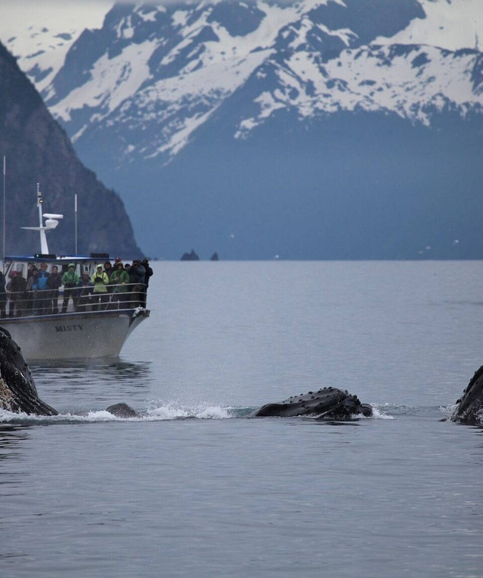Humpback whales and whale watching boat