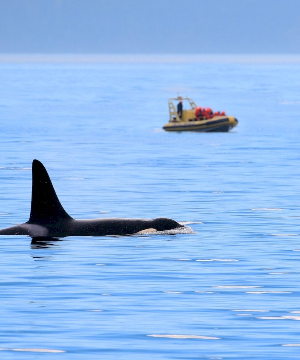 Male Orca killer whale swimming, with whale watching boat in the background