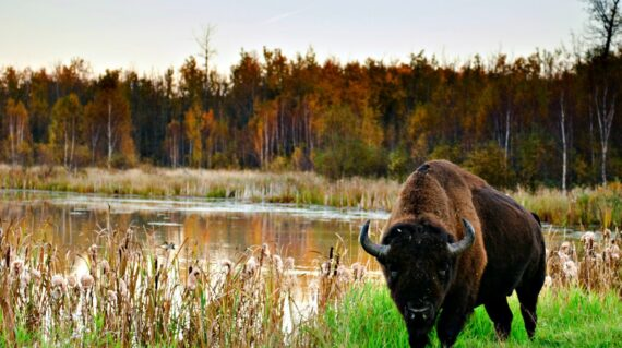 Roaming herds of wild plains bison in Elk Island National Park