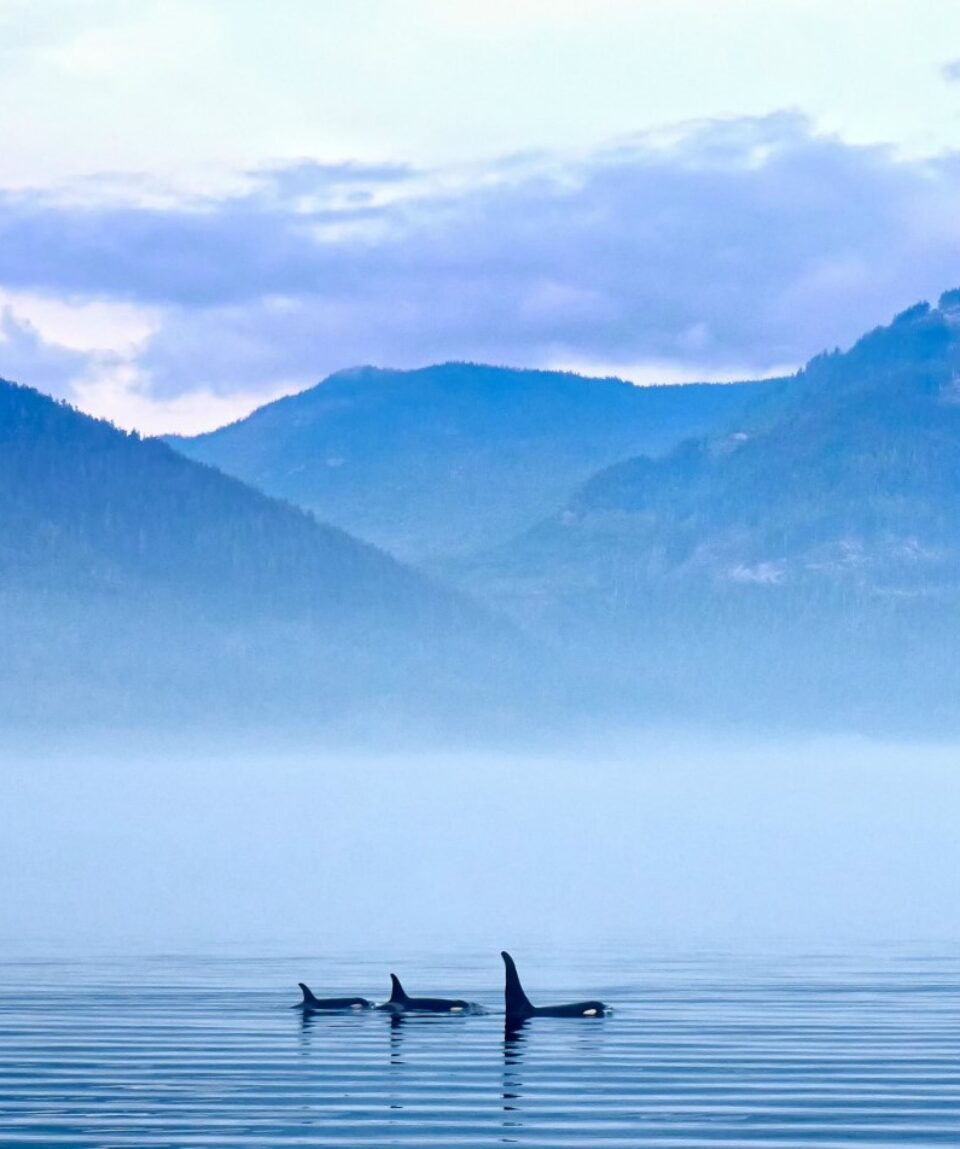 Three Killer whales in mountain landscape at Vancouver Island